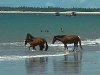 Cheveaux sauvages sur une plage au Bresil, Natal